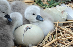 Cygnet hatching