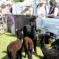 Inca alpaca from West Dorset